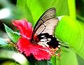 Thailand Koh Phi Phi Island Papilio Memnon Agenor Distantianus female (9158178563).jpg