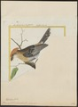 Thamnophilus canadensis - 1700-1880 - Print - Iconographia Zoologica - Special Collections University of Amsterdam - UBA01 IZ16400401.tif