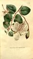 The Botanical Magazine, Plate 291 (Volume 9, 1795).png
