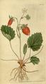 The Botanical Magazine, Plate 63 (Volume 2, 1788).png