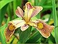 The Iris (30) (8096411758).jpg