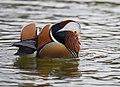 The Mandarin Duck of St. Ferdinand Park (45717515622).jpg