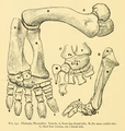 The Osteology of the Reptiles-198 fgh ygv.png