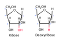 The difference between ribose and deoxyribose.png