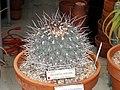 Thelocactus nidulans - University of California Botanical Garden - DSC08874.JPG