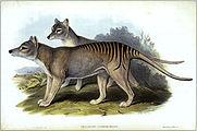 thylacinus cynocephalus gould