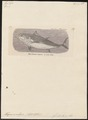 Thynnus thynnus - 1700-1880 - Print - Iconographia Zoologica - Special Collections University of Amsterdam - UBA01 IZ13500198.tif