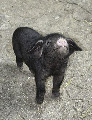 Görlitz Zoo - Image: Tibetschweine 2