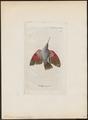 Tichodroma muraria - 1810 - Print - Iconographia Zoologica - Special Collections University of Amsterdam - UBA01 IZ19200383.tif