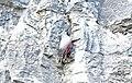 Tichodrome échelette Tichodroma muraria aDSC 0861a (51012975940).jpg