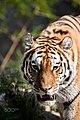 Tiger (122671695).jpg