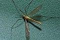 Tiger Cranefly (36019529745).jpg