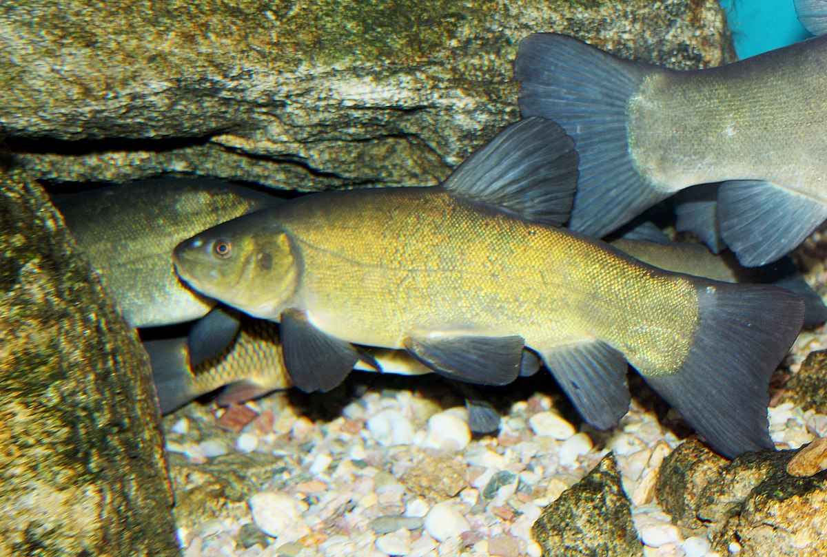 Tench wikipedia for Fische arten