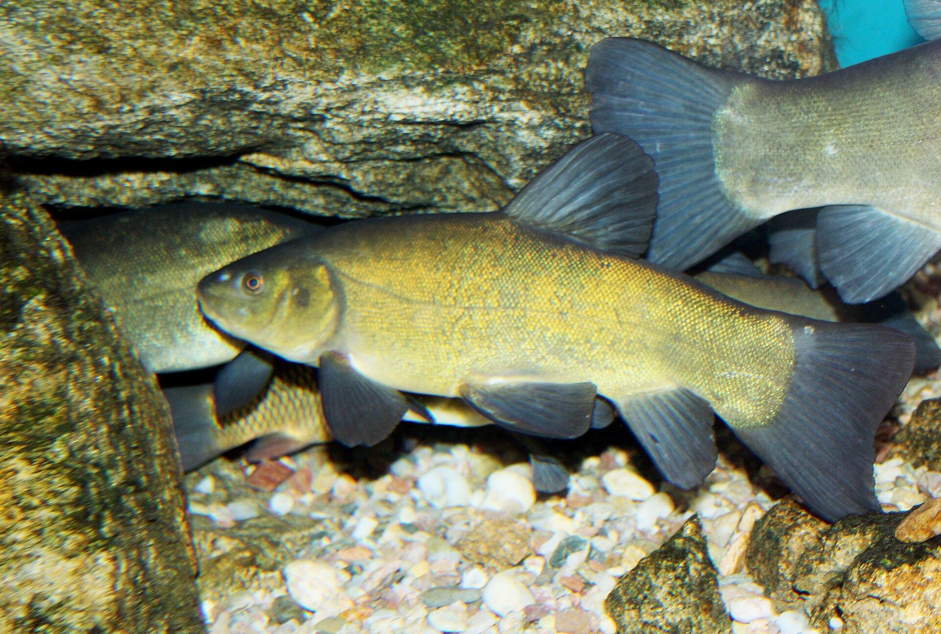 Tench wikipedia for Fishing in delaware