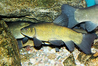 Tench species of fish
