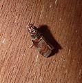 Trachycera advenella. Pyralidae. - Flickr - gailhampshire.jpg