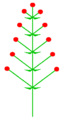 Traube dekussiert (inflorescence).PNG