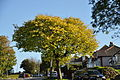Tree at Higher St Budeaux (5799).jpg