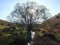 Tree in Green Combe - geograph.org.uk - 1581768.jpg