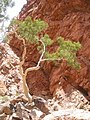 Tree in Ormiston Gorge.JPG