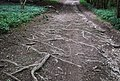 Tree roots coming through on Monarch's Way - geograph.org.uk - 470710.jpg