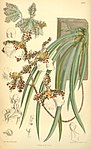 Trichocentrum jonesianum (as Oncidium jonesianum) - Curtis' 114 (Ser. 3 no. 44) pl. 6982 (1888).jpg