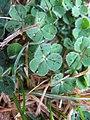 Trifolium subterraneum leaf5 (10734437986).jpg