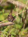 Troglodytes aedon aedon, Youghiogheny MD 2.jpg