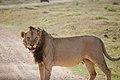 Tsavo lion.jpg