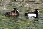 Tufted Ducks (8487090982).jpg