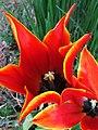 Tulpen Blüten - panoramio.jpg