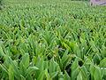 Turmeric field.jpg