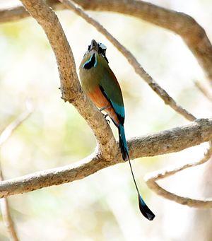 Turquoise-browed motmot - Image: Turquoise browed Motmot (6900632444)