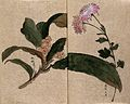 Two flowering plants, possibly a chrysanthemum and loquat Wellcome V0043661.jpg
