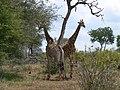 Two giraffes (393890149).jpg