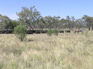 Stock route - Modern droving on a Travelling Stock Route, Walgett, New South Wales