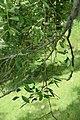Ulmus parvifolia in Eastwoodhill Arboretum (2).jpg
