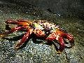 Un cangrejo muy fotogénico.jpg