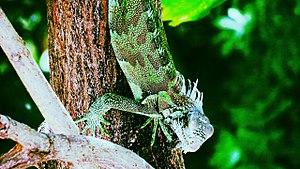 Guarenas - Image: Una Iguana en Guarenas, Edo Miranda