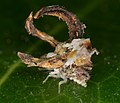 Unknown neuroptera larae (14502525386).jpg