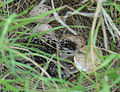 Upland Sandpiper nest with chick (8241306053).jpg