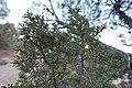 Utah Juniper scale-leaves near Butler Wash Ruins, February 2019.jpg