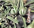 Utetheisa pulchella דובון יפהפה.jpg