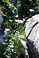 Valeriana montana Pyrénées 1.jpg