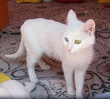 0037301afcb0fd Van cat - Wikipedia
