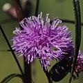 Vernonia rubricaulis- Soriano, Palmar, Entre gramíneas de alto porte en bañado al margen del Río Negro 17.JPG