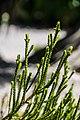 Veronica lycopodioides × V. subalpina in Christchurch Botanic Gardens 03.jpg
