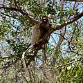 Verreaux's Sifaka Berenty Madagascar - panoramio (2).jpg
