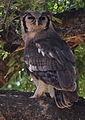 Verreaux's eagle-owl, or giant eagle owl, Bubo lacteus eating a snake at Pafuri, Kruger National Park, South Africa (20676037402).jpg