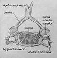 Vertebra Cervical.jpg